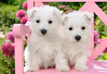 White Terrier Puppies